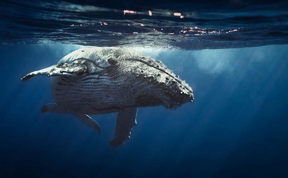 Humpback Whale - One Ocean Initiative