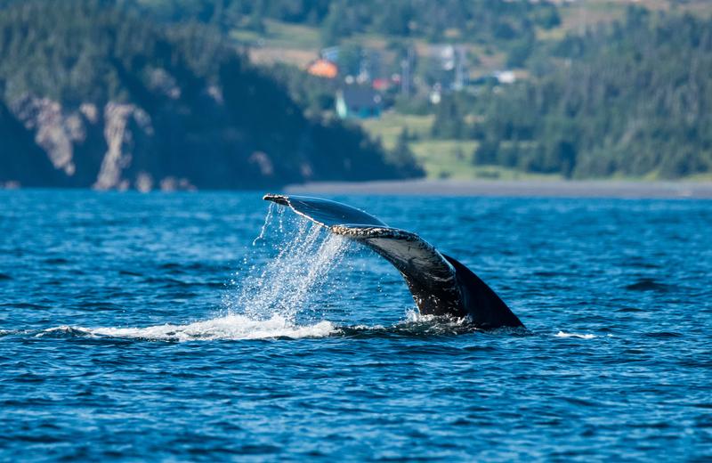 Humpback Whale Newfoundland Yacht Charter