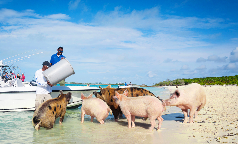 Sea Pigs Exumas and Bahamas Yacht Charter
