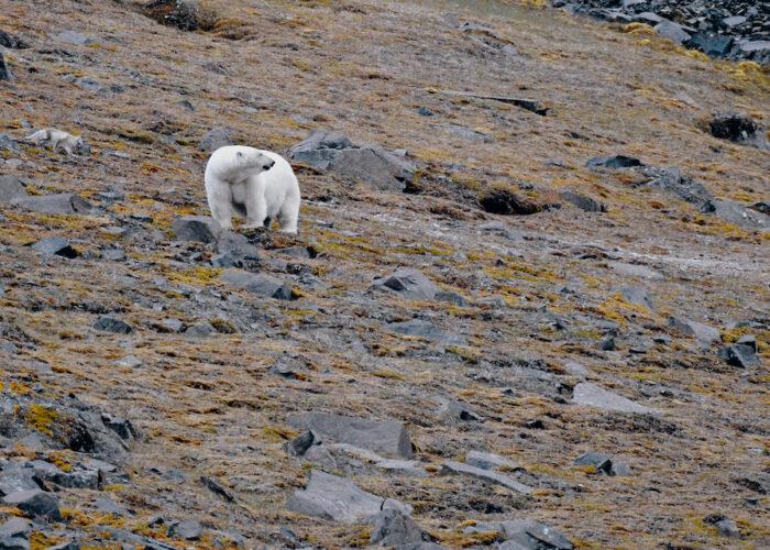 togo polar bear