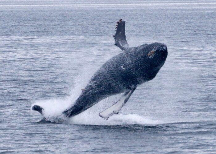 Sacajawea Whale watching
